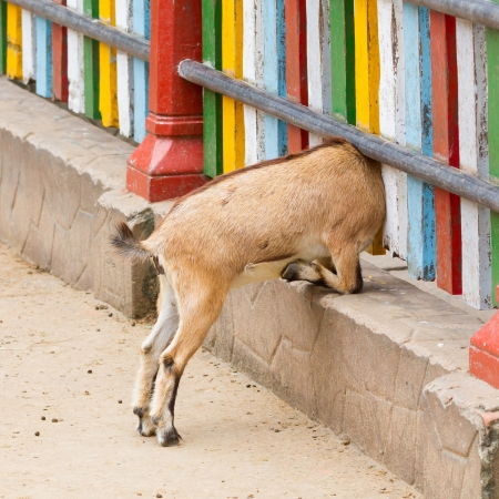 Brown goat looking through a colorful fence photo