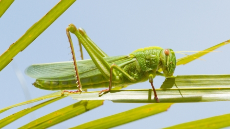 predatory insect: Large grasshopper from the side, eating grass