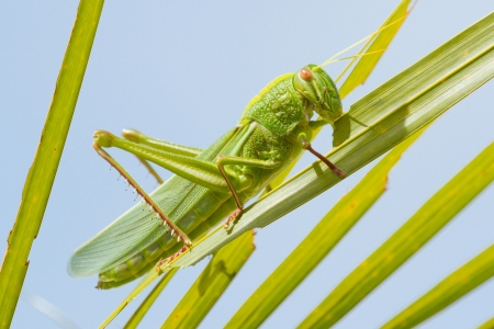 cricket insect: Large grasshopper from the side, eating grass