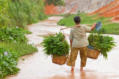 Un agriculteur vietnamien (femme) portant la citronnelle après la récolte