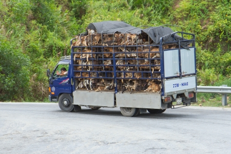destined: VIETNAM - AUG 4: Trailer filled with live dogs destined for Vietnamese slaughterhouses in the north of Vietnam, Vietnam on August 4,2012. Editorial