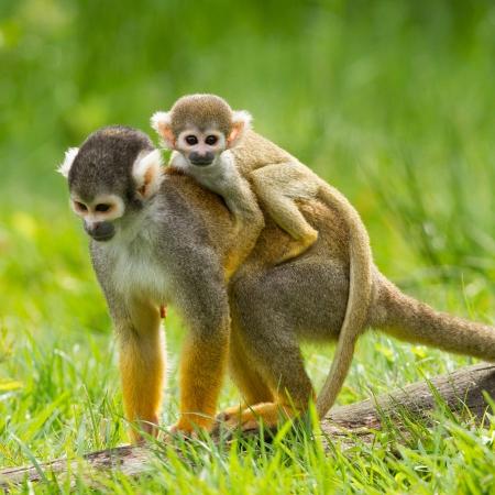 animales de la selva: Mono joven en la parte posterior de su madre (cautiverio, holandés zoo)