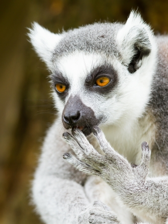 Ring-tailed lemur (Lemur catta) cleaning its claw in a dutch zoo Imagens