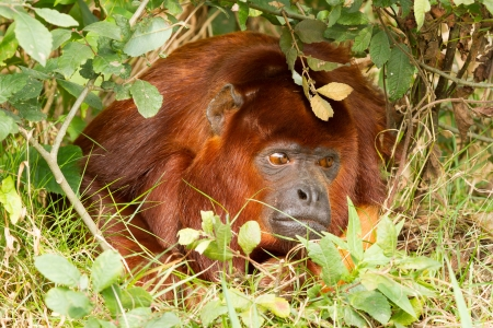 Mantled howler (Alouatta seniculus) resting on the ground Stock Photo - 14976631