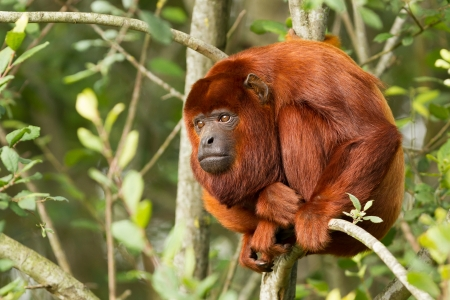 Mantled howler (Alouatta seniculus) resting in a tree
