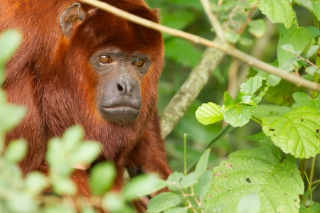 Mantled howler (Alouatta seniculus) resting in a tree photo