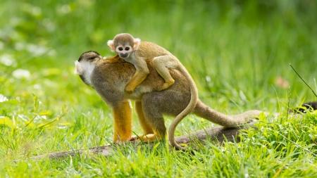 female nipple: Giovane scimmia sul retro della sua madre Archivio Fotografico