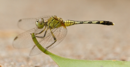 Large dragonfly resting on a leaf, Vietnam photo
