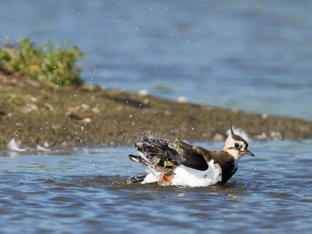 topknot: Lapwing taking a bath in a lake, Vanellus vanellus