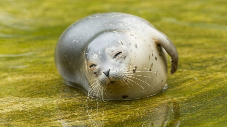 Common seal resting in the water (Phoca vitulina)
