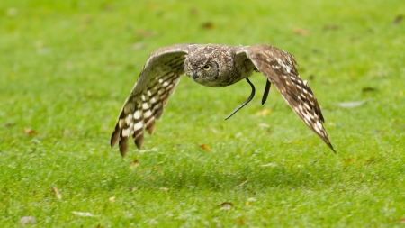 African Eagle Owl flying over a green field, selective focus on eye Stock Photo - 15760865