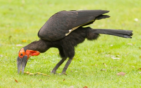 lizard in field: Southern Ground hornbill (Bucorvus leadbeateri) comer un lagarto