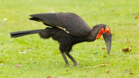 lizard in field: Southern Ground hornbill (Bucorvus leadbeateri) comer un lagarto