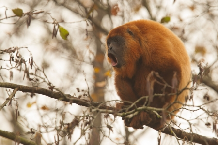 howler: Mantled howler (Alouatta seniculus) howling in a tree