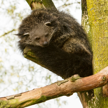 civet cat: Close-up of a Binturong (Arctictis binturong) in a tree Stock Photo