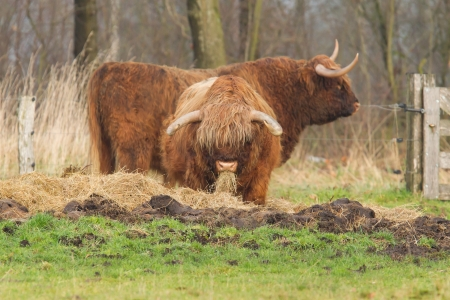 scotish: Portrait of typical scottish bulls in a meadow Stock Photo