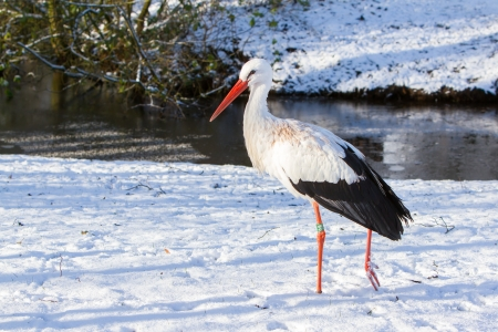 ciconiiformes: Adult stork standing in the snow, winter