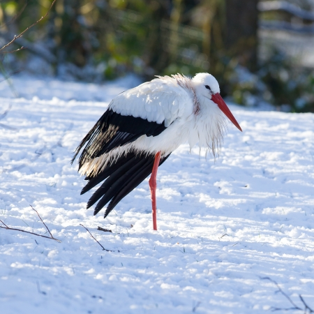 Adult stork standing in the snow, winter photo