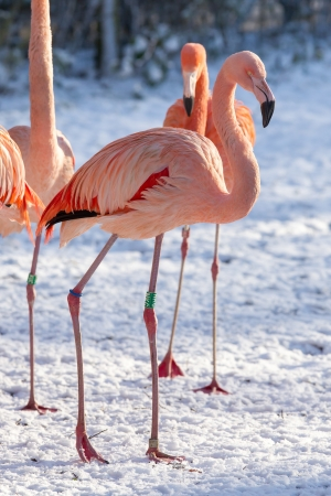 Flamingo in the snow, zoo in Holland