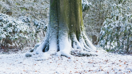 strong base: Roots of an old tree covered in snow