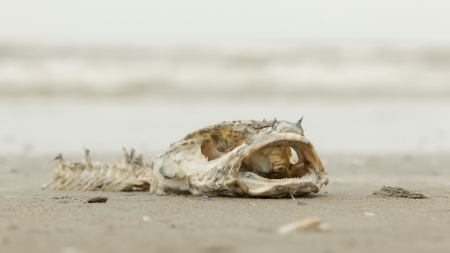 Decomposing dead fish carcass washed ashore on beach with mostly fish bones left Stock Photo - 17069013