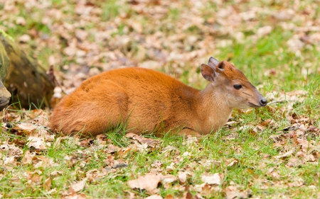 Natal red duiker (Cephalophus natalensis) in a dutch Stock Photo - 17106988
