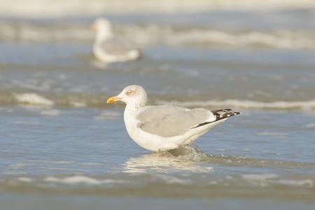 Herring gull on a beach in Holland photo