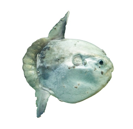 Ocean sunfish (Mola mola) in captivity, Ameland, Holland Stock Photo