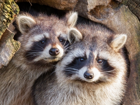 Adult raccoon at his nest, Leeuwarden, Holland Stock Photo - 17733786