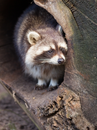 Adult raccoon at his nest, Leeuwarden, Holland photo