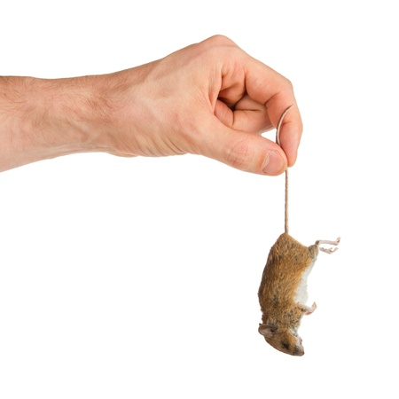 Hand holding a dead mouse, isolated on a white background photo