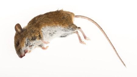 Dead mouse isolated on a white background photo