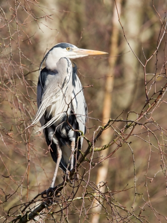 Great Blue Heron resting in a tree, Holland Stock Photo - 18248207