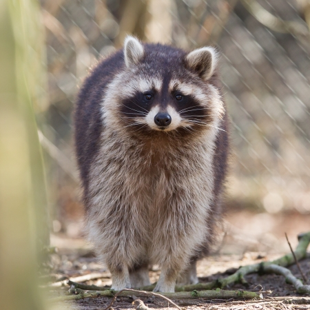 Curious racoon in captivity is staring into the lens