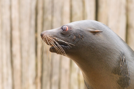 flavescens: Close-up of a South American Sea Lion (Otaria flavescens)