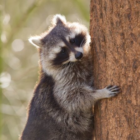 Curious racoon is climbing a tree, Holland Stock Photo