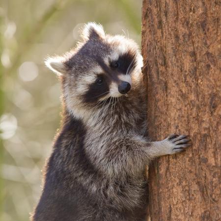 Racoon est curieux de grimper dans un arbre, Pays-Bas Banque d'images - 18459789