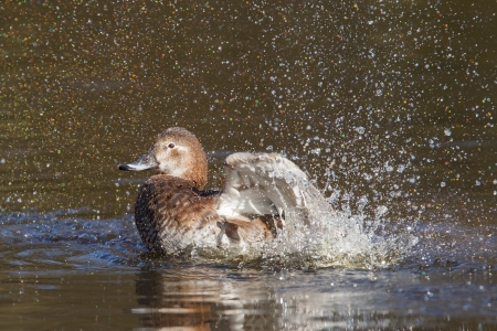 Single duck is washing herself, water splashing Stock Photo - 18459772