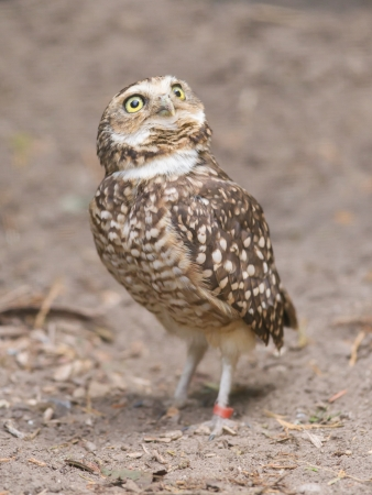 burrowing: Burrowing owl (Athene cunicularia) in captivity, Holland