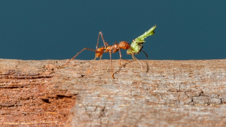 Leaf cutter ant in a dutch zoo photo