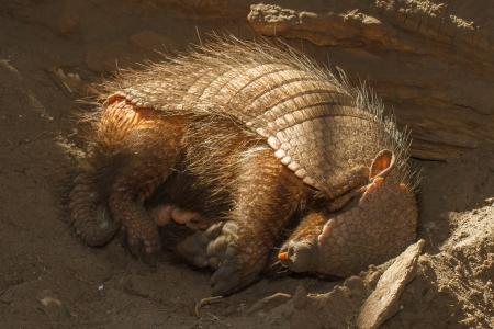 Dormir tatou (Chaetophractus villosus) dans un zoo néerlandais Banque d'images