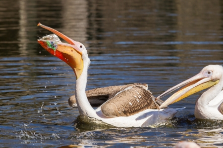 Young pink pelican playing with a piece of plastic