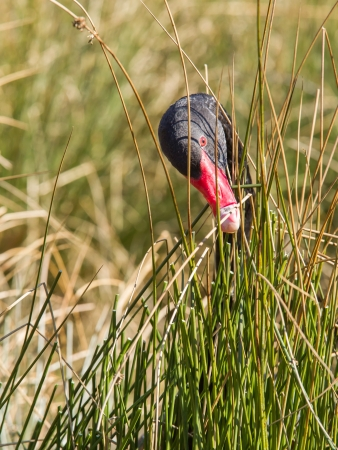 soulful eyes: Black swan is eating grass, only head is showing above the grass Stock Photo