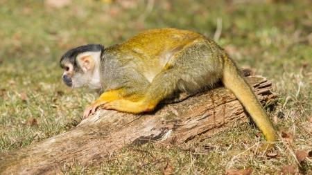 peeing: Peeing Squirrel Monkey (Saimiri boliviensis) in Holland