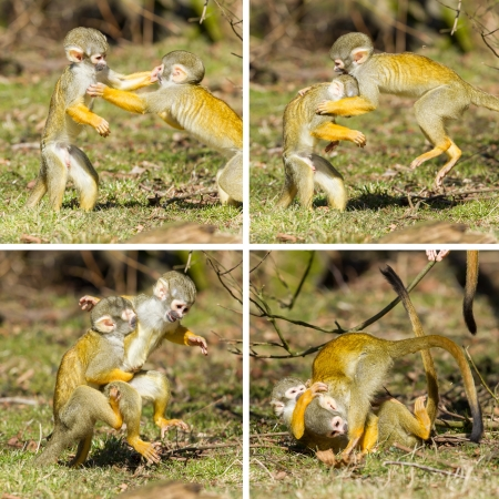 animal fight: Two young Squirrel Monkeys (Saimiri boliviensis) fighting, compilation