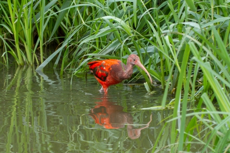 wading: Young Scarlet Ibis, Eudocimus ruber wading though the water