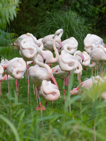 pink flamingo: Group of Flamingos in a dutch zoo Stock Photo
