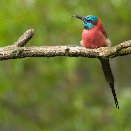 carmine: Nord Carmine Bee-Eater seduto su un ramo d'albero