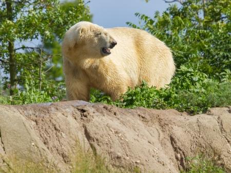 ursus: Close-up of a polarbear (icebear) in capticity (Holland) Stock Photo