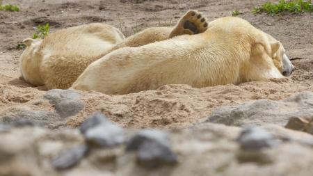 Close-up of a polarbear (icebear) in capticity (Holland) photo